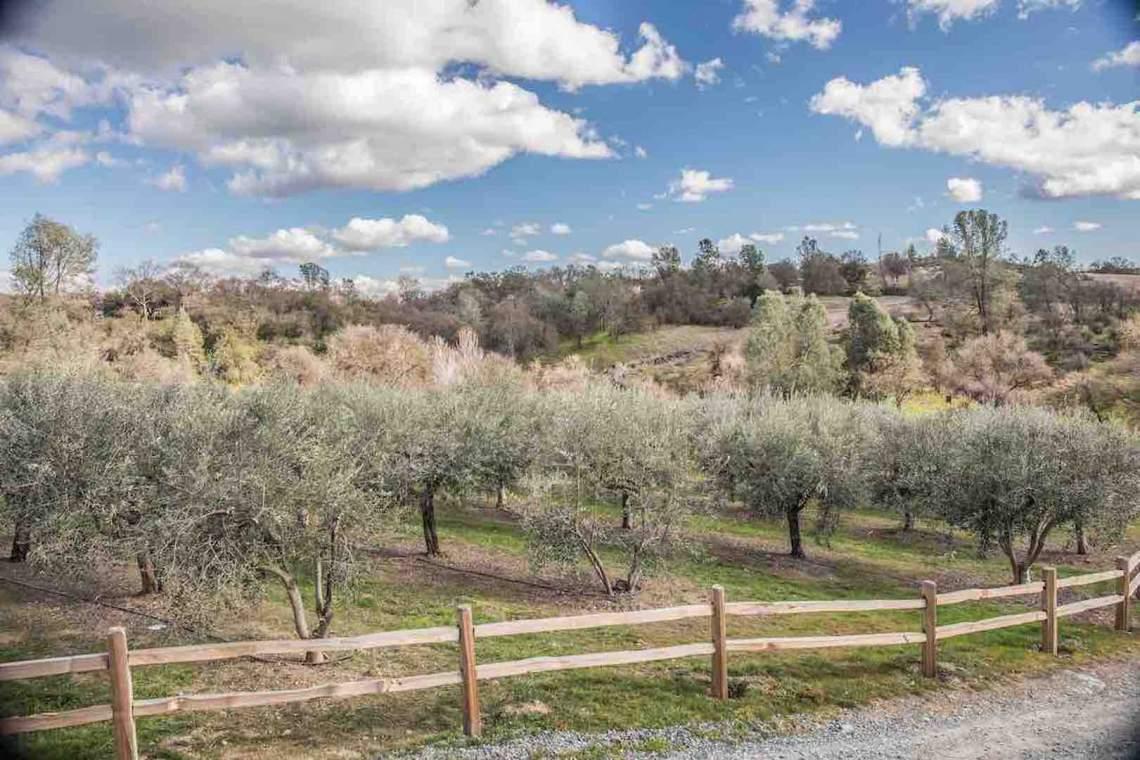 Jamestown, Hurst Ranch Olive Trees