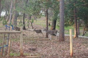 Return of the Black Tailed Deer