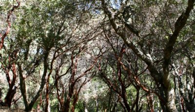 Manzanita Grove